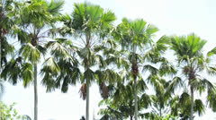 Sugar palm tree in the line Stock Footage