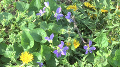Violets and dandilions p Stock Footage