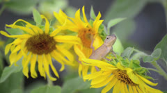Chameleon lizard on the sunflower branches Stock Footage