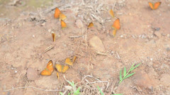 Group of butterflies eating the salt lick in the forest Stock Footage