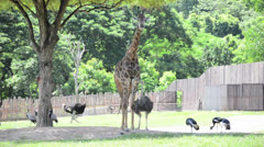 Giraffe and other safari animals are living together - stock footage