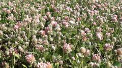 Clover field texture Stock Footage