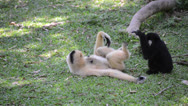 Stock Video Footage of baby white cheeked gibbon is playing with mother