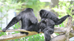 Stock Video Footage of Siamang (a kind of Gibbon) family