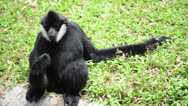 Stock Video Footage of Male white cheeked gibbon drinks water