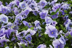 Viola flower field Stock Photos