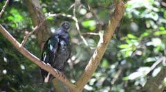 Preening Nicobar Pigeon on the tree Stock Footage