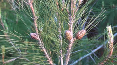 Microstrobile on pine tree zoom out Stock Footage