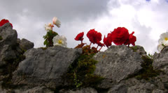 Begonia flowers on the stone wall Stock Footage