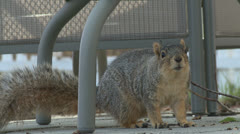 Patio Squirrel - stock footage