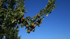 Pear Tree 3 Stock Footage