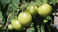Stock Video Footage of green tomatoes