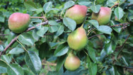 Stock Video Footage of pear fruits