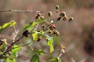 Stock Photo of Blackberries