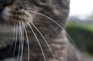 Stock Photo of Cat Whiskers