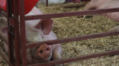 PINK PIG SNOUT - stock footage