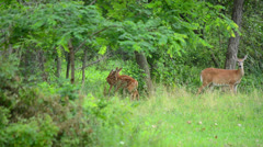 Whitetail Deer Fawns - stock footage