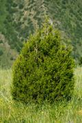 pine tree in the mountains - stock photo