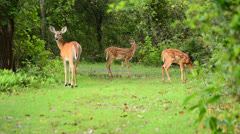 Whitetail Deer Fawns Stock Footage