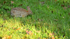 Cottontail Rabbit - stock footage