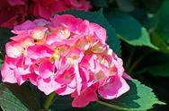 Stock Photo of pink hydrangea