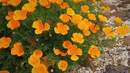 Stock Video Footage of FlowerPoppy03