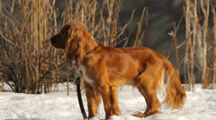 Dog looking, English Cocker Spaniel in nature in winter Stock Footage