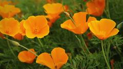 FlowerPoppy02 Stock Footage