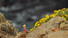 Yellow and red flower on rocks overlooking ocean Stock Footage