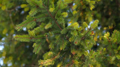 Green spruce tree branch close-up Stock Footage