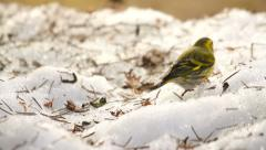 Little bird feeding on the snow in winter, siskin eating seeds Stock Footage