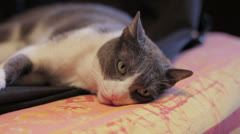 Relaxing  adult cat stay on the sofa: relax, feline, home, house, animal Stock Footage