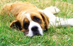 saint bernard dog - stock photo