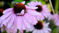 Echinacea Purpurea with bee Stock Footage