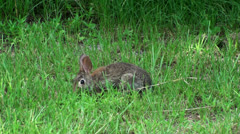 Bunny Rabbit In The Wild Stock Footage