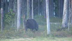 Brown bear in misty forest at night Stock Footage