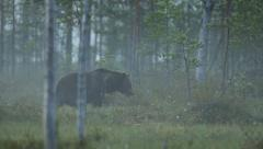Brown bear walking in forest at night Stock Footage