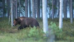 Brown bear walking in forest - stock footage