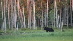 Brown bear walking in forest Stock Footage