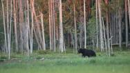 Stock Video Footage of Brown bear walking in forest