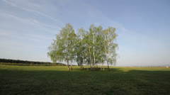 Beautiful scenery group of birch tree on spring green field Stock Footage