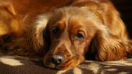 Stock Video Footage of Cute dog sleeping on a couch at home, English Cocker Spaniel
