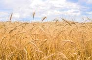 Stock Photo of wheat field