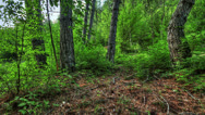 Stock Video Footage of Forest at dawn. HDR Time Lapse Shot Motorized Slider