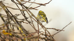 Close-up of a siskin, sitting in the tree in early spring Stock Footage