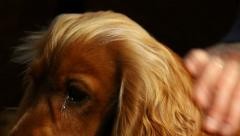 Close-up of patting a beautiful dog, English Cocker Spaniel Stock Footage
