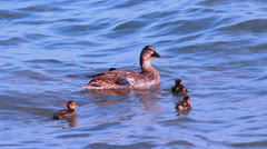 Little ducklings and their mom Stock Footage