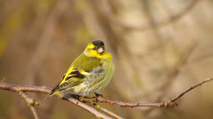 Beautiful little bird, siskin, sitting in the tree in early spring - stock footage
