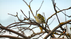 Beautiful little bird, siskin, sitting in the tree in early spring Stock Footage