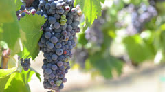 Red Grapes on the Grapevine in a Vineyard ready to made into Wine Stock Footage